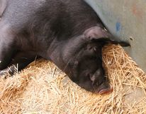 Sleeping black pig in the the shed Stock Photo