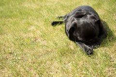 Sleeping black pug Stock Images