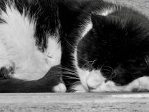 Sleeping Black and White Cat royalty free stock photo