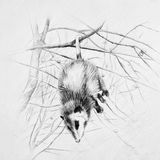 Sleeping black and white possum hanging on a tree branch. Royalty Free Stock Images