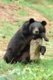 Sleeping blackbear Royalty Free Stock Photography