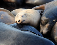 Sleeping blonde sea lion pup Royalty Free Stock Images