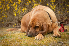 Sleeping blood hound Royalty Free Stock Images