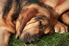 Sleeping bloodhound Stock Image