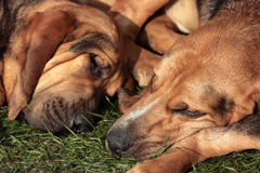 Sleeping Bloodhounds Royalty Free Stock Photos