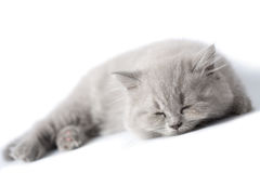 Sleeping blue kitten isolated Stock Photo