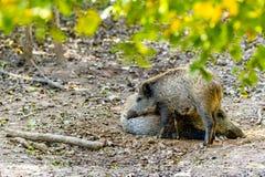 Sleeping Boar stock image