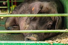 Sleeping boar or pig in cell Stock Image