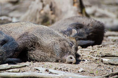 Sleeping boar Royalty Free Stock Image