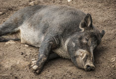 Sleeping Boar Royalty Free Stock Photos
