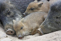 Sleeping Boars. A family of wild boars sleeping on the ground Stock Photography
