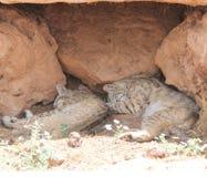 Sleeping Bobcats. Sleeping bob cats under a rock ledge Stock Image