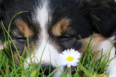 Sleeping border collie puppy royalty free stock image