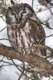 Sleeping Boreal Owl, Aegolius funereus Stock Photography