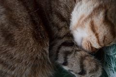 A sleeping british shorthair cat curled up in its bed royalty free stock image