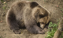 Sleeping brown bear Royalty Free Stock Images