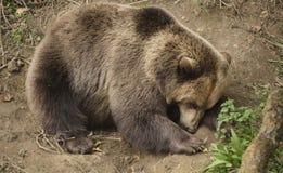 Sleeping brown bear Royalty Free Stock Images