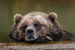 Sleeping Brown Bear Royalty Free Stock Photos