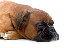 Sleeping brown boxer. Headshot of a sleeping brown boxer Royalty Free Stock Image