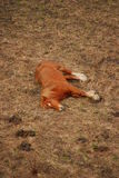 A Sleeping Brown Horse. In Andorra on dry grass surface Stock Photos