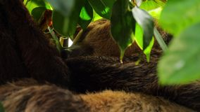 Sleeping brown-throated sloth