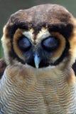 Sleeping Brown Wood Owl Of Malaysia Royalty Free Stock Photo