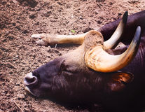 Sleeping Bull Royalty Free Stock Photography