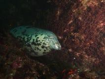 Sleeping bull grey seal Royalty Free Stock Image