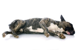 Sleeping bull terrier Stock Photo