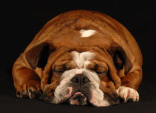 Sleeping bulldog Royalty Free Stock Photos