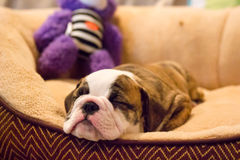 Sleeping Bulldog Puppy With Toy Royalty Free Stock Photography