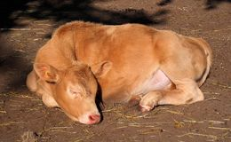 Sleeping Calf Basking In Sun
