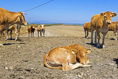 Sleeping calf in the countryside Stock Images