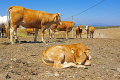 Sleeping calf in the countryside Stock Photos