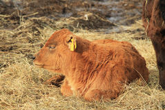 Sleeping calf. Cute small ginger calf sleeping on the hey Royalty Free Stock Image
