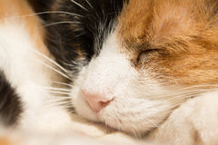 Sleeping calico cat Royalty Free Stock Photo