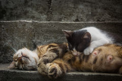 Sleeping calico cat mother is feeding her kitten Stock Photo