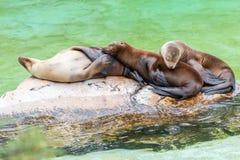 Sleeping California sea lions family stock image