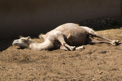 Sleeping camel Royalty Free Stock Images