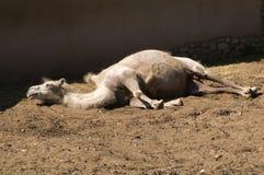 Sleeping camel royalty free stock images
