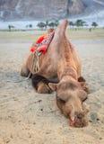 Sleeping camel Stock Photos