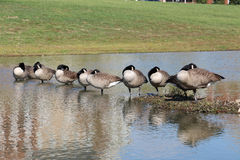 Sleeping canadian geese Stock Photo