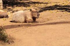 Sleeping capybara Hydrochoerus hydrochaeris. Sleeping capybara known as Hydrochoerus hydrochaeris relaxing in the sun Stock Photography