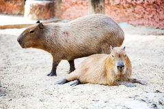 Sleeping capybara. ( rodent ) Royalty Free Stock Photos