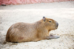 Sleeping capybara. ( rodent ) Stock Photos