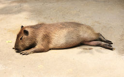 Sleeping capybara Royalty Free Stock Photo