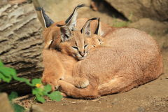 Sleeping caracals Royalty Free Stock Image
