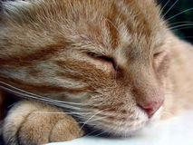 Sleeping Cat. A feral cat caught napping royalty free stock photography
