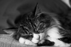 Sleeping Cat. A sweet fluffy cat sleeping on her paw, black and white royalty free stock photo
