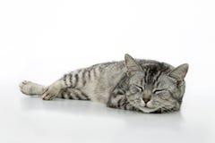 Sleeping cat. Sleeping cat, on white background Stock Photos